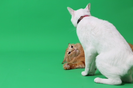 Two cats are playing on the green screen.