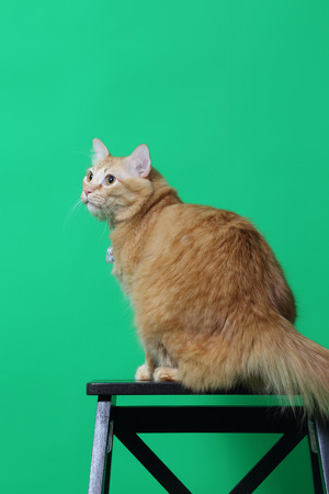 The ginger cat on the green screen.