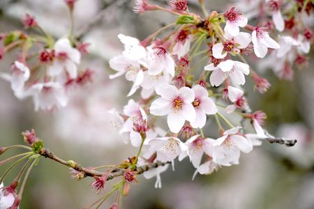 La imagen de cerca del hermoso árbol de cerezos en flor. Foto de archivo