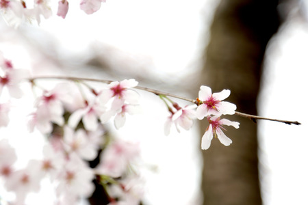 The close up picture of beautiful cherry blossom. Foto de archivo