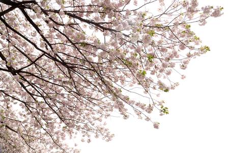 Das Nahaufnahmebild der schönen Kirschblüte.