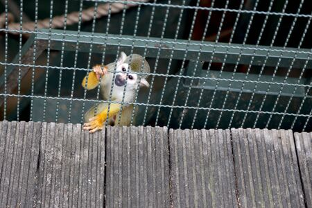 The squirrel monkey in the zoo's cage.