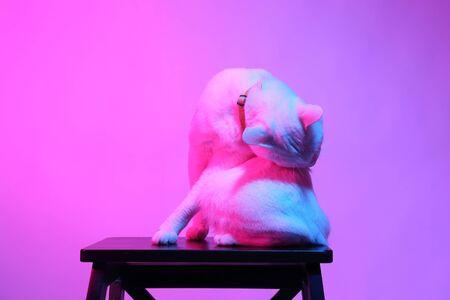 The white cat in the color gel light, 版權商用圖片