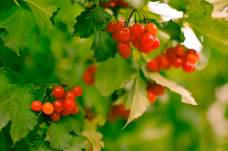 outumn: Bright rowan-berry bush with green leaves, horisontal
