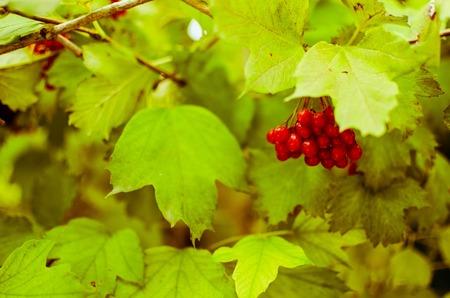 horisontal: Bright rowan-berry bush with green leaves, horisontal