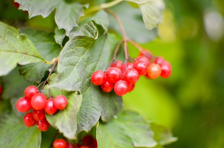 rowanberry: Bright rowan-berry bush with green leaves, horisontal