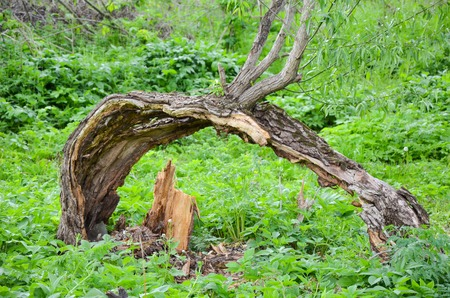 bough: bough of old willow tree in spring