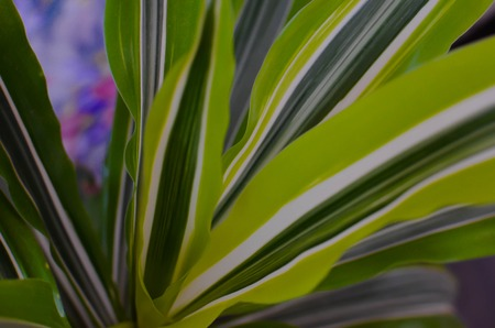 Green leaf background. Dracaena closeup for green nature background