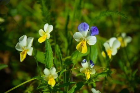 int: Pansy flowers Viola tricolor int the garden, Ukraine Stock Photo