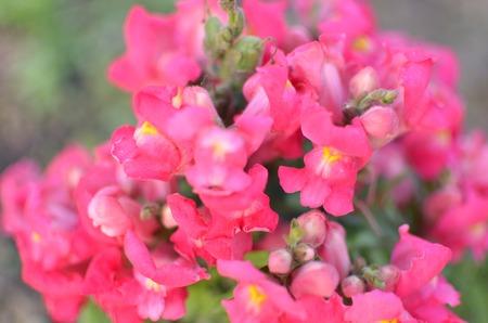 common snapdragon: Pink Blossom Snapdragons , Antirrhinum majus, horizontal closeup Stock Photo