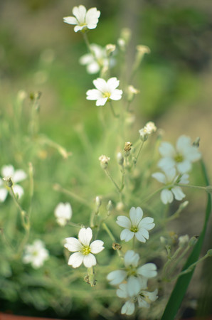 cerastium tomentosum: macro floral background white tender spring flowers, Cerastium, growing at meadow Stock Photo