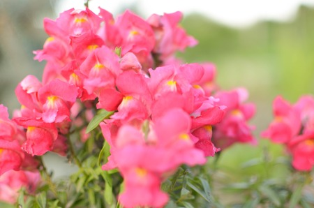 antirrhinum majus: Pink Blossom Snapdragons , Antirrhinum majus, horizontal closeup Stock Photo