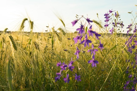 Poppy, cornflowers and rapeseed in the field. Blooming wildflowers. Red and blue flowers Stock Photo