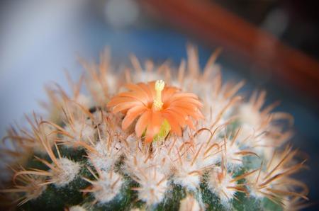 Desert cactus closeup with orange flower photo