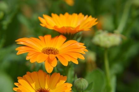 officinalis: Marigold Calendula officinalis orange flower closeup summer