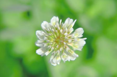 trifolium repens: White Dutch clover Trifolium repens. Flower of the clover. Trifolium Repens L.