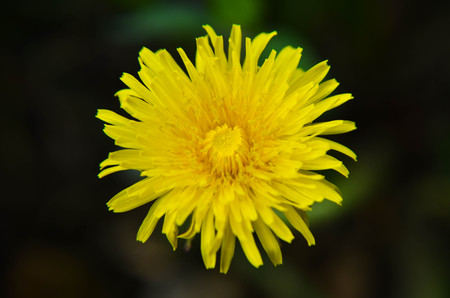 yelow: Closeup photo of a yelow dandelion on the field Stock Photo