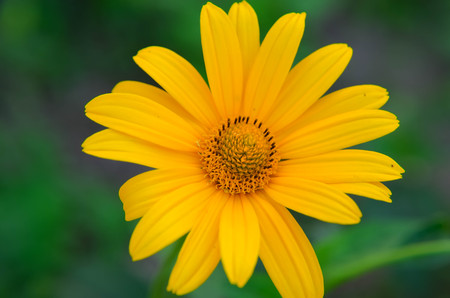 Close up of a yellow daisy flower, natural background