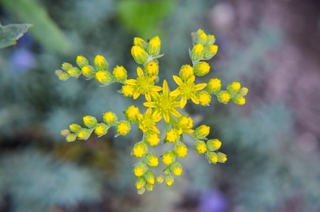 bean plant: Yellow flower Sedum rubrotinctum or, Pork and Beans or, jelly bean plant. Clusters succulents of vivid green oval leaves that change to red and yellow under dry conditions.