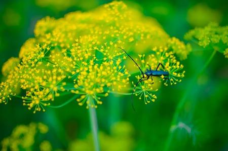 cerambycidae: Black beetle Cerambyx cerdo sitting on a flower dill