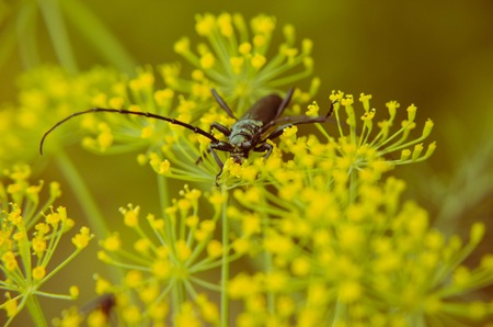 long horn beetle: Black beetle Cerambyx cerdo sitting on a flower dill