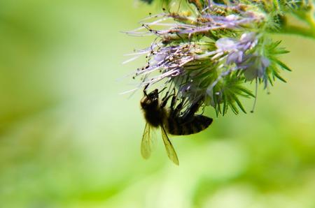 humilde: Primer plano de la flor tanacetifolia phacelia Phacelia y humilde abeja recoge el néctar