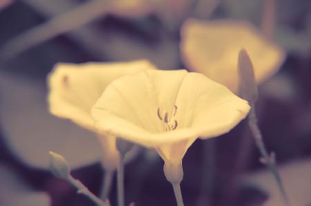 convolvulus: beautiful white convolvulus flowers in a garden closeup