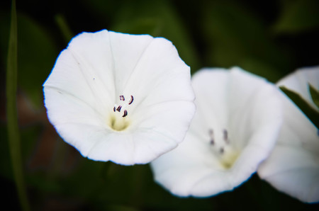 convolvulaceae: beautiful white convolvulus flowers in a garden closeup