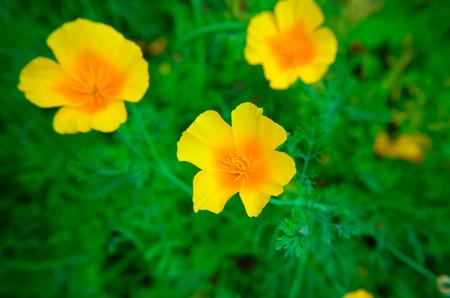 californian: Eschscholzia against green grass background. Eschscholzia Californica, California poppy