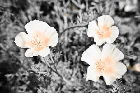 californian: Eschscholzia against green grass background. Eschscholzia Californica, California poppy black and white photo Stock Photo