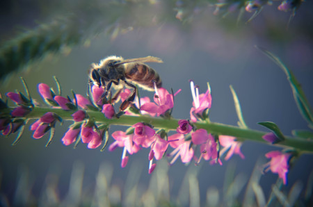 Common heather calluna vulgaris . Small honey forest plant and ornamental garden plant and bee Stock Photo