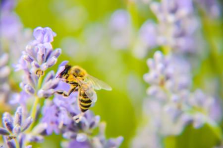Honey Bee on Lavender Flower closeup summer photo