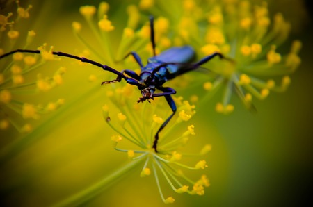 long horn beetle: Black beetle Cerambyx cerdo sitting on a flower dill