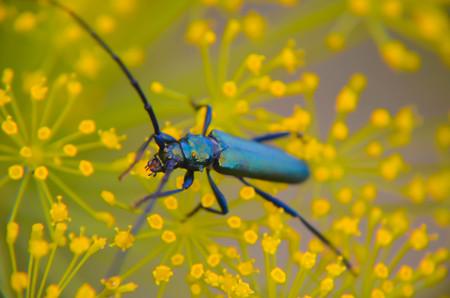 Black beetle Cerambyx cerdo sitting on a flower dill