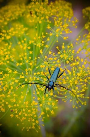 capricornio: escarabajo negro Cerambyx cerdo se sienta en una flor de eneldo Foto de archivo