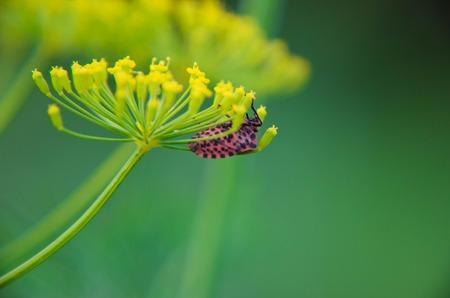 capricornio: negro y rojo del escarabajo de Cerambyx cerdo se sienta en una flor de eneldo