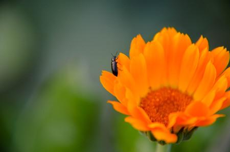 officinalis: Marigold Calendula officinalis flower closeup as background Stock Photo