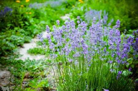 View of Fresh Lavender in a Garden on a Blured Background clostup, Ukraine Stock Photo