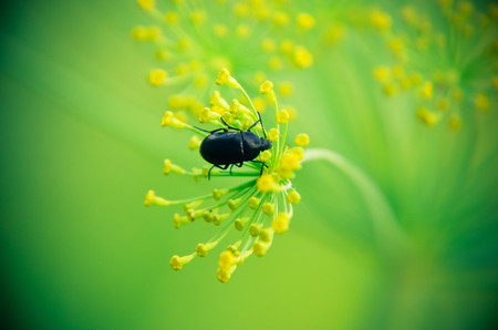 Black beetle sitting on a flower dill closeup background