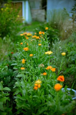 Flowerbed with Orange and Yellow Marigolds Calendula in a Walled Kitchen Garden near the Rural Village in Ukraine