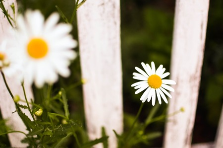 cottage fence: Close-up beautiful daisies flowers blooming at white picket fence in a yard at rural cottage garden. Nature flower background and summer concept Stock Photo
