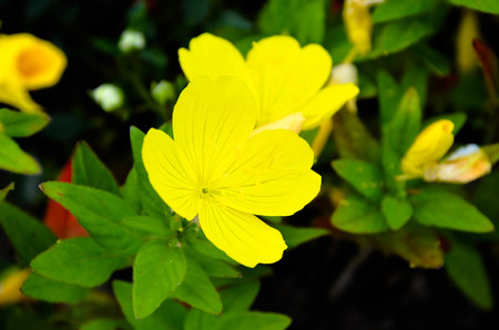 sundrops: Evening primrose Oenothera biennis . Close up of two flowers on green background