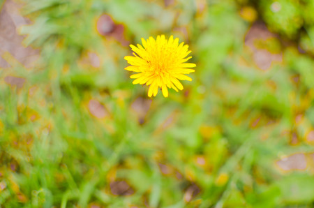 Closeup photo of a yelow dandelion on the green background