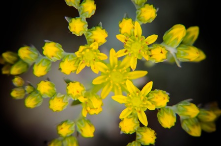 jelly beans: Yellow flower Sedum rubrotinctum or, Pork and Beans or, jelly bean plant. Clusters succulents of vivid green oval leaves that change to red and yellow under dry conditions.
