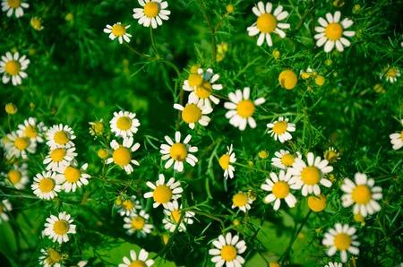 Field of Camomile Matricaria recutita . Background summer Stock Photo