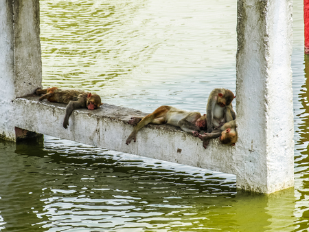 somnolent: Indian monkeys sleeping near water at hot summer day