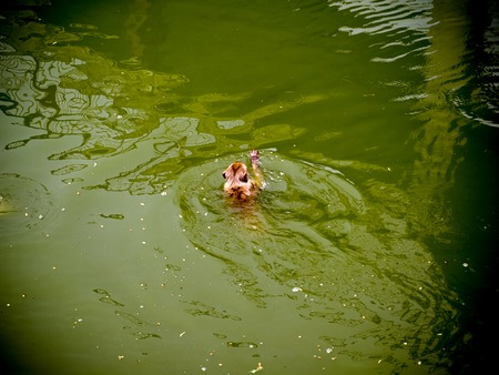 Monkey swimming in a hot weather in India