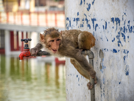 hot water tap: Thirsty monkey drinking tap water at hot summer day