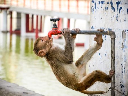 sediento: beber agua del grifo mono sed en día caluroso de verano