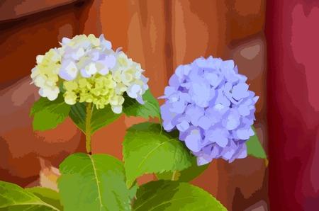 floriculture: Slight blue hydrangea flower in front of blue hydrangea flower Illustration